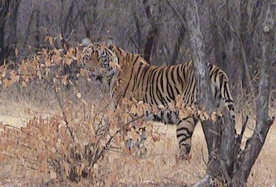Tiger in Ranthambhore, India Photo: Ranjan Mukherjee