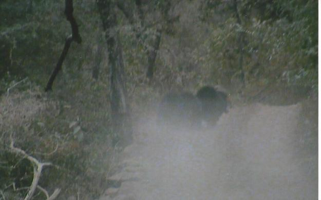 Three Himalayan black bears hidden in a cloud of dust.