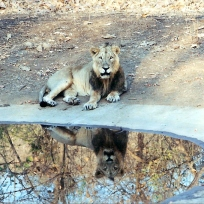 Asian lion in Gir Forest, India