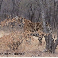 Tiger seen in Ranthambhore, India