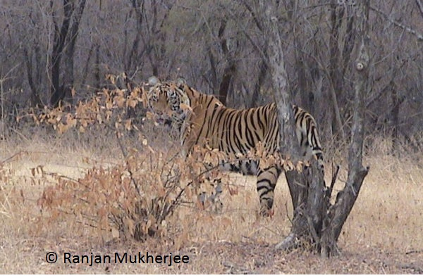 Tiger seen in Ranthambhore, India
