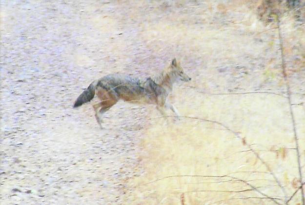 A jackal in Ranthambhore.