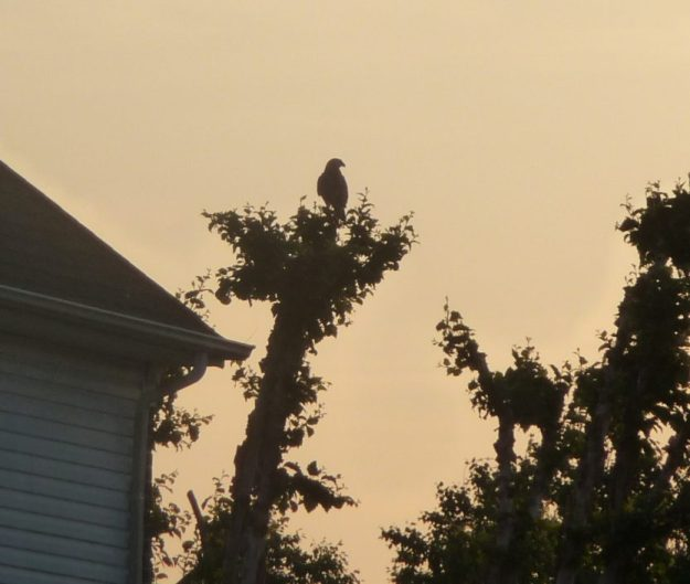 Falcon in a tree, waiting for the rabbit to reappear