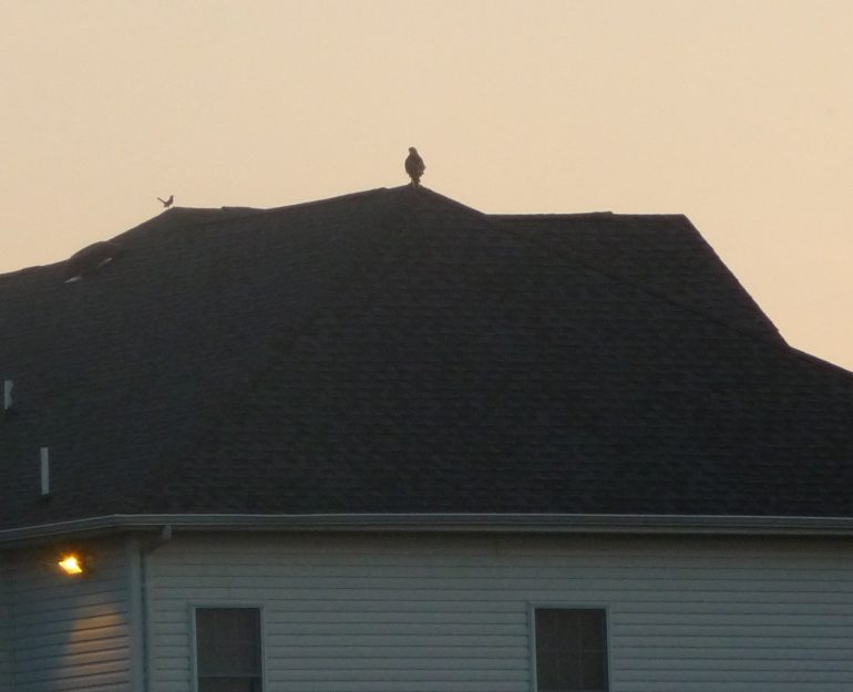 Falcon perched on roof