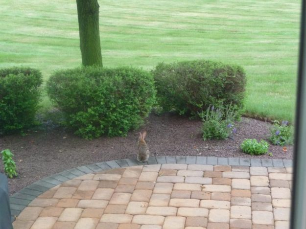 The rabbit on my patio, contemplative