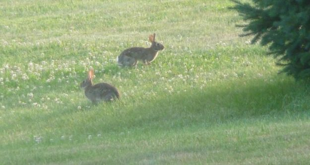 Rabbits at home under the pine tree