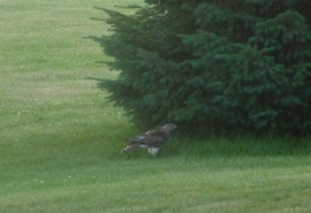 The falcon under the pine tree, looking for the rabbit