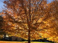 Tree in fall colors dazzling yelow