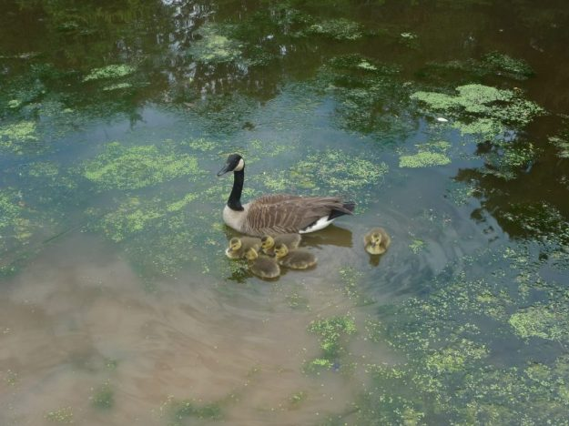 Canadian goose with chicks