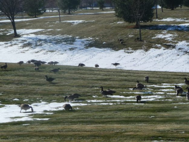 Canadian geese foraging on our lawns