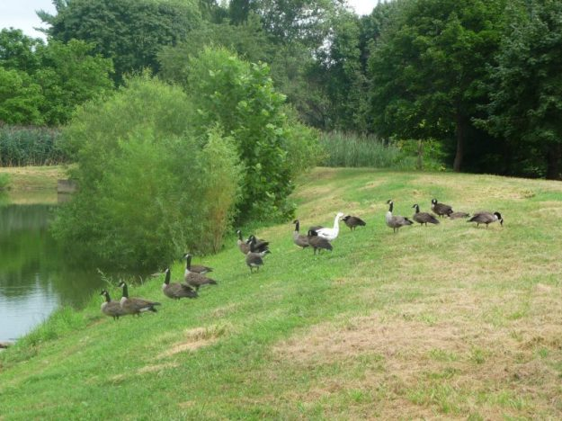 A white Canadian Goose in a regular flock
